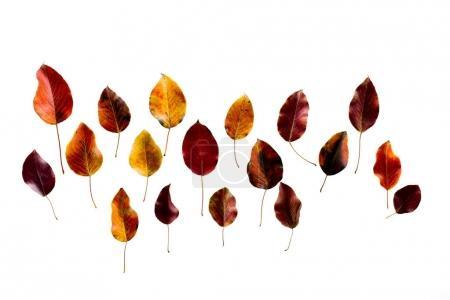 Photo pour Vue de dessus de couleurs feuilles d'automne sombres isolé sur blanc - image libre de droit