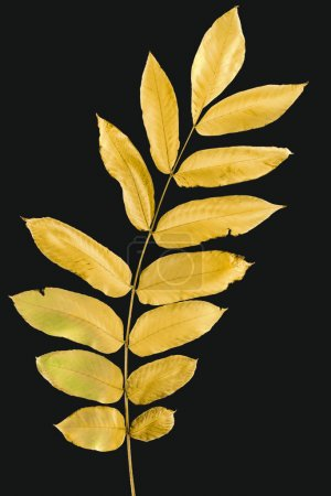twig with yellow autumn leaves