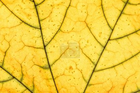 Photo for Close up view of yellow leaf veins - Royalty Free Image