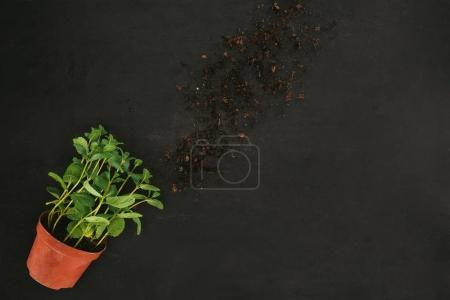 Photo for Top view of fresh mint in pot and soil on black - Royalty Free Image