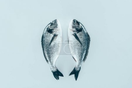 close-up view of raw fresh healthy dorado fish isolated on grey