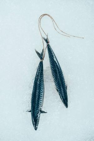 close-up view of raw mackerel fish tied with rope on ice