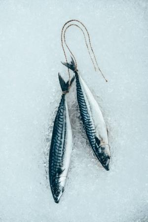 top view of raw mackerel fish tied with rope on ice