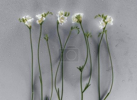 blooming freesia flowers over grey background