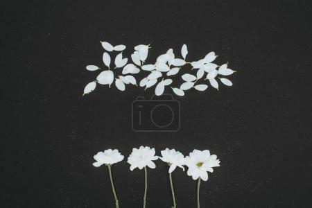 top view of white daisies with petals isolated on black