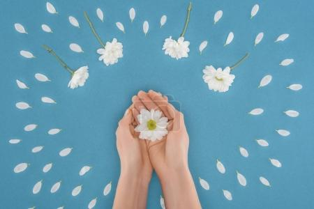 top view of cropped hands with daisy isolated on blue