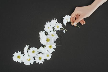 top view of cropped female hand with daisies over black background