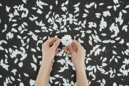 top view of cropped female hands holding daisy with petals over black background