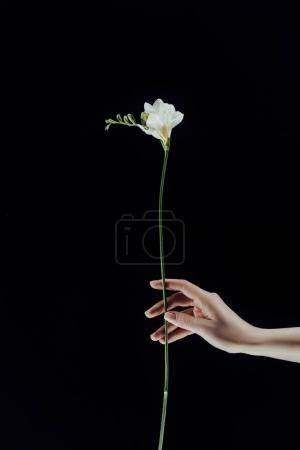 Photo pour Image recadrée de la main femelle tenant des fleurs freesia isolées sur noir - image libre de droit
