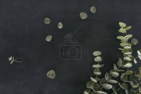 Photo for Green eucalyptus leaves and branches over black background - Royalty Free Image