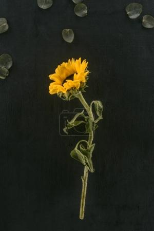 beautiful blooming sunflower isolated on black