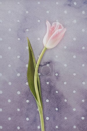 Blooming tulip flower over purple spotted background