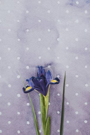 Blooming iris flower over purple spotted background