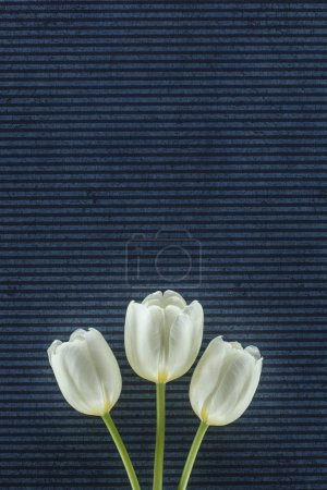 tender tulip flowers over stripped background