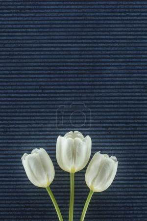 Photo for Tender tulip flowers over stripped background - Royalty Free Image