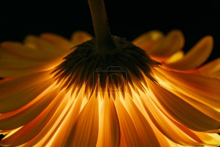 beautiful gerbera flower isolated on black
