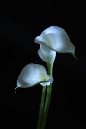 Photo pour Belle fleur de lys calla isolée sur noir - image libre de droit