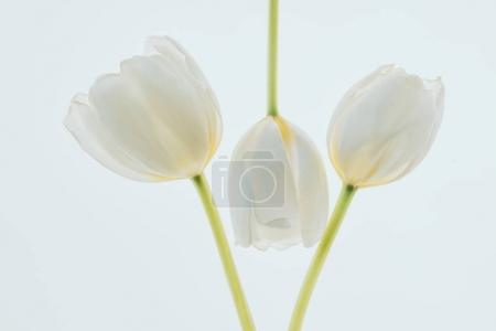 beautiful tulip flowers isolated on white
