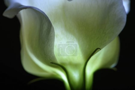 Photo for Beautiful calla lily flower isolated on black - Royalty Free Image