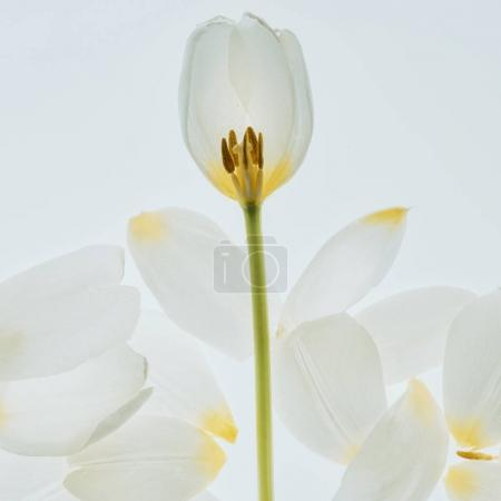 beautiful tulip flower with petals isolated on white