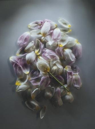 tulip petals heap over grey background