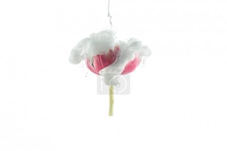 close up view of pink flower and white paint splash isolated on white