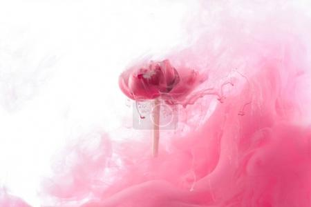 Photo for Close up view of pink flower and paint splash isolated on white - Royalty Free Image