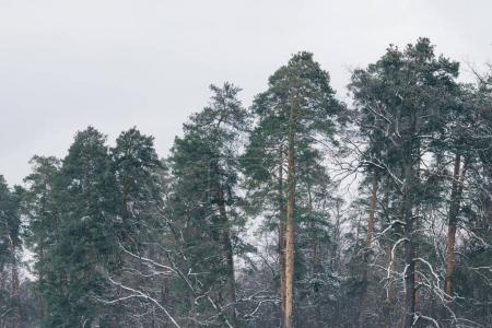 high green pines in snowy forest
