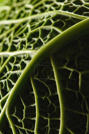 close-up view of texture of green fresh savoy cabbage leaf