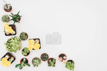 Photo for Top view of beautiful green plants and yellow flowers in pots isolated on white - Royalty Free Image