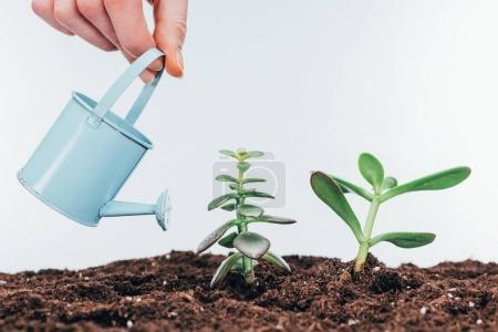 cropped shot of hand holding watering can and beautiful green plants growing in soil
