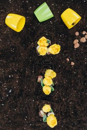 top view of beautiful yellow flowers growing in soil and flower pots on ground