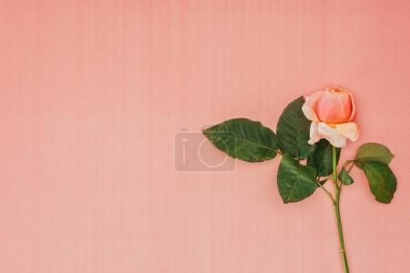 beautiful tender pink rose flower with green leaves on pink background