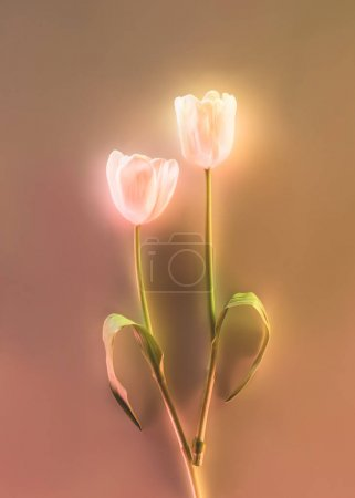 Photo for Toned picture of beautiful glowing tulips on grey background - Royalty Free Image