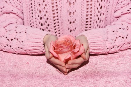 Photo for Cropped view of woman in sweater holding rose flower on pink velour cloth, girlish concept - Royalty Free Image