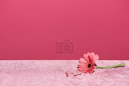 Photo pour Gerbera avec pétales cueillis sur tissu velours rose isolé selon le concept rose et ciré - image libre de droit
