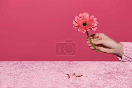 Photo pour Crocheté vue d'une femme tenant des gerberas avec des pétales sur un tissu de velours isolé sur un concept rose et filiforme - image libre de droit