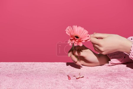 Photo for Cropped view of woman picking out gerbera petals on velour cloth isolated on pink, girlish concept - Royalty Free Image