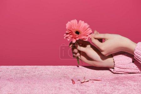Photo pour Vue en coupe d'une femme cueillant des pétales de gerbera sur un tissu de velours isolé sur un concept de fille rose - image libre de droit
