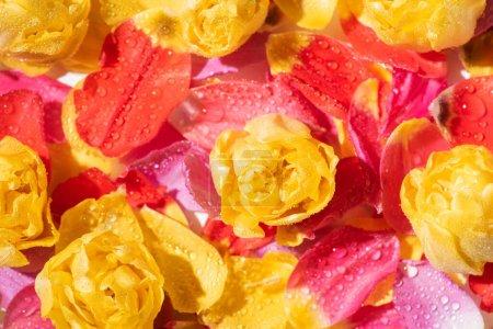 Photo pour Foyer sélectif de pétales de tulipes brillantes avec gouttes d'eau - image libre de droit