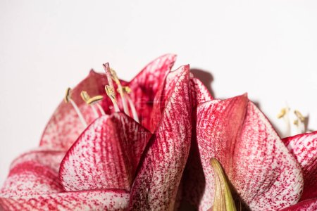 Photo for Close up view of red lilies isolated on white - Royalty Free Image