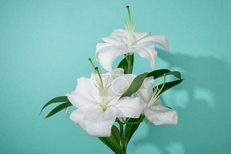 Photo pour Lis blancs aux feuilles vertes sur fond turquoise - image libre de droit