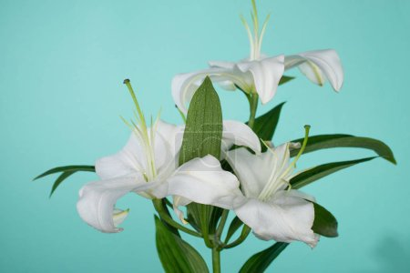 Photo for White lilies with green leaves on turquoise background - Royalty Free Image