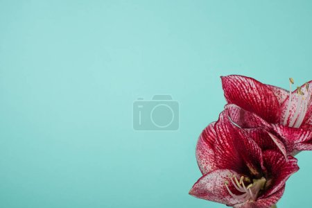 Photo pour Vue rapprochée des lys rouges isolés sur turquoise - image libre de droit