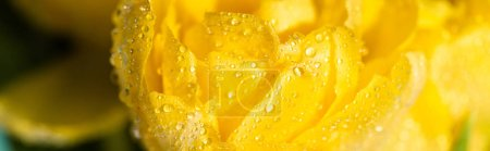 Photo for Close up view of fresh yellow tulip with water dropsisolated - Royalty Free Image