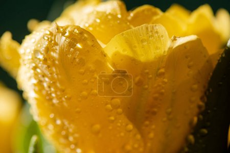 Photo for Close up view of fresh yellow tulip with water drops - Royalty Free Image