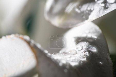 Photo pour Close up view of white petal of lily flower with water drops - image libre de droit