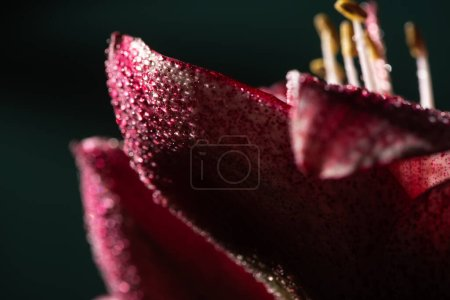 Foto de Close up view of red lily flower with water drops isolated on black - Imagen libre de derechos