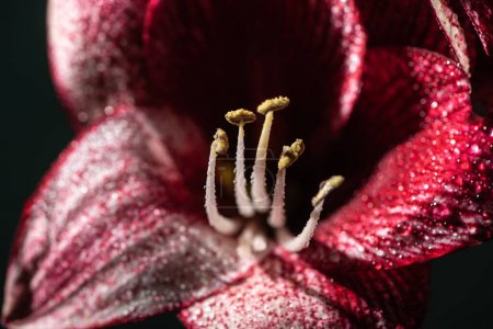Photo for Close up view of red lily flower with water drops isolated on black - Royalty Free Image