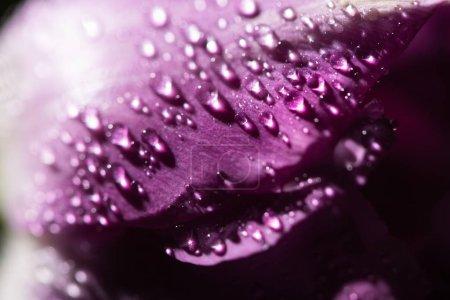 Photo pour Vue rapprochée de la tulipe violette avec gouttes d'eau - image libre de droit